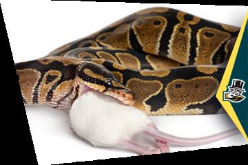 Фото Змея убивает грызуна